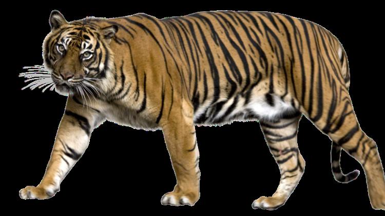29 июля — Международный день тигра